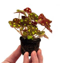 """Begonia"""""""